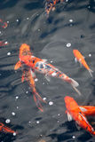 Koi Fishes. Some brocaded carp fishes swimming in a pool of water Stock Image