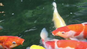 Koi fishes swim to the surface of water, search for oxygen. Variety ornamental colorful Koi carp fishes swim to the surface of water, search for oxygen stock video footage