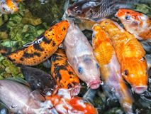 Hungry Koi fishs waiting to be feeded. Koi fishes swimming in the pond Stock Images