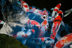 Koi fishes in Tokyo Royalty Free Stock Images