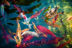 Koi Fishes und die Ente Stockfotos