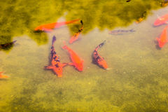 Koi Fishes. In the water Royalty Free Stock Image
