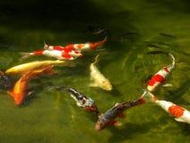 Koi fisk Arkivfoton