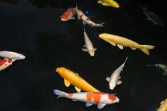 Koi fisk Royaltyfri Foto