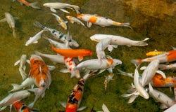 Koi fisk Arkivbilder