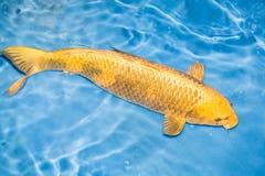 Koi fisk Royaltyfria Bilder