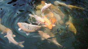 Koi fisk i dammet arkivfilmer