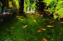 Koi fisk i dammet Royaltyfri Fotografi