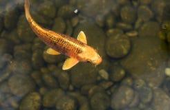 Koi fisk i ett damm Royaltyfri Fotografi