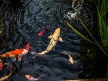 Koi fisk i ett damm södra town för africa udd Arkivbilder