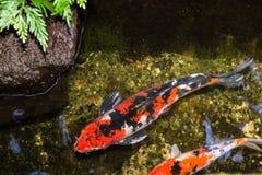 Koi fisk i ett dammslut upp royaltyfria bilder