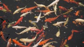 Koi fisk i vatten lager videofilmer