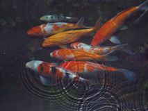 Koi fisk med vattenkrusningen Arkivbilder