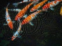 Koi fisk med vattenkrusningen Royaltyfri Foto