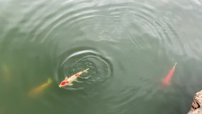 KOI-fisk som fritt simmar i vattnet arkivfilmer