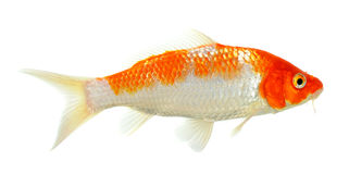 Koi fisk som isoleras på den vita bakgrunden Arkivbild
