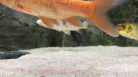 Koi fiskbehållare lager videofilmer