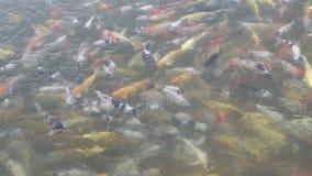 Koi fisksimning i damm stock video