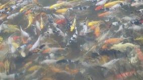 Koi fisksimning i damm arkivfilmer