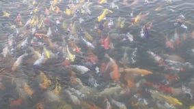 Koi fisksimning i damm lager videofilmer