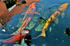 Koi FLow and Reflections Stock Photo
