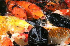 Koi frenzy. On water surface feeding Royalty Free Stock Images