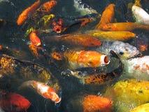Koi giapponese nella mania furiosa d'alimentazione Immagine Stock