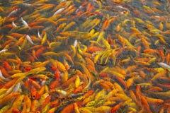 Koi goldfish Stock Photography