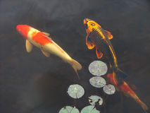 Koi goldfish in pool Royalty Free Stock Image