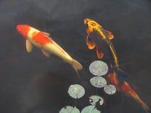 Koi goldfish in pool. Koi goldfish swim beneath lily pads in a garden pool Royalty Free Stock Image