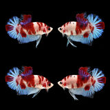 KOI HMPK Betta. On black background. Beautiful fish. Swimming flutter tail flutter Royalty Free Stock Images