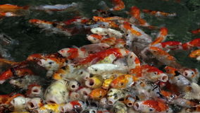 Koi stock video footage