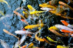 Koi are kept for decorative purposes in outdoor koi ponds or water gardens. Koi is an informal group of the colored variants of the Amur carp. Several varieties Stock Photography