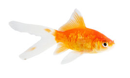 Koi Isolation Royalty Free Stock Photography