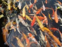 Koi Royalty Free Stock Image
