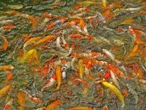 Koi Karpfen-Fischpound Stockfoto