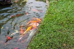 Koi karpfisk som simmar i ett vatten Guld- fisksimning i dammet arkivfoton