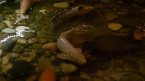 Koi karpsimning i det dekorativa trädgårddammet Kverulera fisken i dammet på sommarträdgården lager videofilmer