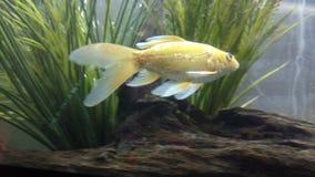 Koi. Fish yellow fish swimming Royalty Free Stock Image