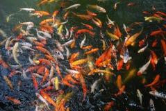 Koi in the lake. Colorful koi in the lake Royalty Free Stock Photos