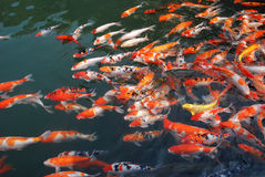 Koi in the lake. Colorful koi in the lake Royalty Free Stock Photo