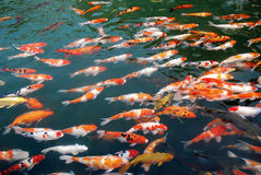 Koi in the lake. Colorful koi in the lake royalty free stock photos