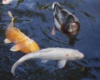 Koi. A mallard drake taking up space in a koi pond Stock Photo