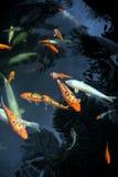 鲤鱼庭院koi m热带monte的宫殿 库存照片