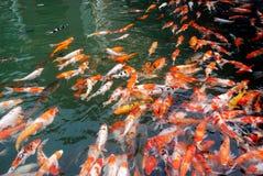 Koi nel lago Fotografie Stock Libere da Diritti