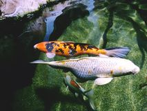 Koi - nishikigoi鱼 免版税库存照片