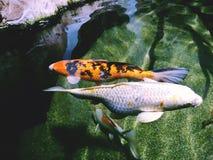 Koi - nishikigoi fish Royalty Free Stock Photo