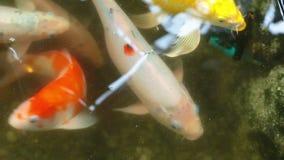 Koi o pesce del giapponese della carpa in stagno archivi video