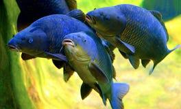 Koi oder Karpfenfische Stockbilder