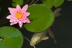 Koi onder Water Lilly Stock Afbeelding
